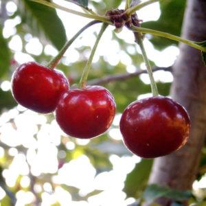 tart cherries for pain relief